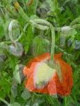 Poppy Nouveau